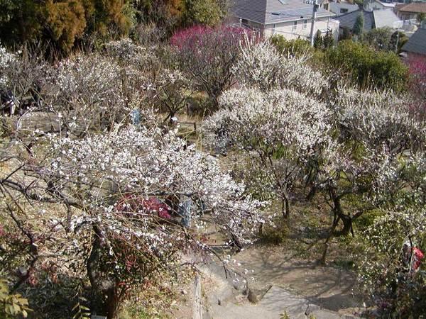 近隣には「岡本梅林公園」